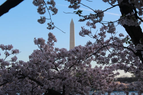 Washington Monument through the blooms